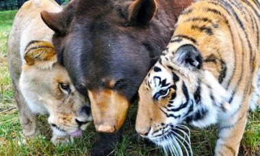 Cei mai neobisnuiti prieteni: un urs, un leu si un tigru sunt ca fratii. Cum e posibil