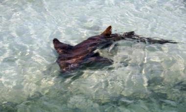 """Cercetatorii au capturat un """"rechin preistoric"""" cu 300 de dinti. Cum arata vietuitoarea incredibila"""