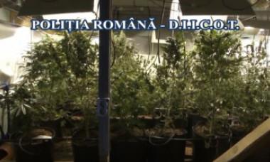VIDEO. Cea mai mare rețea care producea şi vindea cannabis în București, destructurată. Suma uriașă de bani investită de suspecți