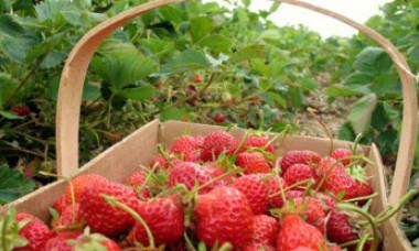 Isteria acelor de cusut în căpșuni se extinde în altă țară